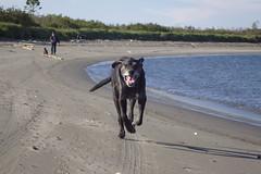 Run to me big boy! (Hodgey) Tags: beach dogs lab run josh peter ralph boxerx