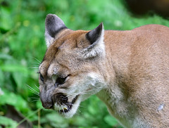 Snarling cougar (RichSeattle) Tags: animal animals oregon portland zoo nikon lion d750 cougar snarl mountainlion oregonzoo richseattle