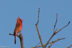 Cardinal (pvc2112) Tags: cardinal nikon d7200 ms d mature sexy portrait backyard bird jeep