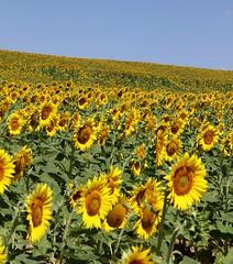 il cielo, la collina di girasoli - Pianello di Ostra (walterino1962) Tags: foglie ombre semi cielo luci petali riflessi collina ancona girasoli gambi pendii campocoltivato pianellodiostra