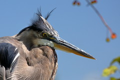 Bad Hair Day (brian.bemmels) Tags: reifelbirdsanctuary delta bc great blue heron greatblueheron ardea herodias areaherodias badhairday
