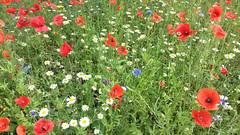 Wild flower meadow (Romany Soup) Tags: wildflowers poppies daisies cornflowers