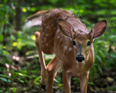 YouAreInMyWay (jmishefske) Tags: d800e nikon whitetail halescorners wildlife wisconsin august fawn whitnall milwaukee park deer 2016