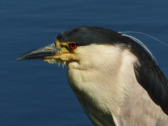 Black-crowned Night-Heron (annkelliott) Tags: alberta canada eofcalgary nature ornithology avian bird birds blackcrownednightheron nycticoraxnycticorax adult perched standing woodenpost water slough sideview closeup outdoor summer 18july2016 fz200 fz2004 annkelliott anneelliott anneelliott2016 allrightsreserved