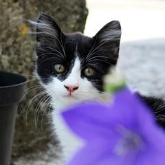 Flower Lover (WickedIllusion) Tags: animal feline cat domestic kitty kitten portrait cute adorable tuxedocat flowerpot japanesebellflower violet flower blur