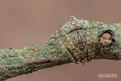 Wrap-around orb weaver (Talthybia sp.) - DSC_7855 (nickybay) Tags: malaysia pantiforest johor macro araneidae wraparound spider orb weaver talthybia