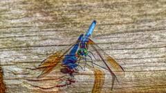 P1030299j (jmctuna) Tags: insect lumix bigeyes colorful dragonfly panasonic hdr jmctuna fz200