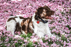 A Bed of Cherry Blossoms (rlgidbiz1) Tags: pink rescue white love brittany day sunny cherryblossom liver brittanyspaniel nbran