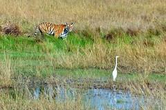 DSC_3461 (ajwhitehead1979) Tags: bengaltiger bhandavgarh india royalbengaltiger tiger