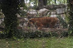 Tigre Siberiana (querin.rene) Tags: renéquerin qdesign parcolecornelle parcofaunistico lecornelle animali animals tigresiberiana russia tigre tiger