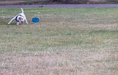 Wiggo and his frisbee (ghostwheel_in_shadow) Tags: archbishopspark england englandandwales europe frisbee lambeth london unitedkingdom wiggo childhood dog jackrussell mammal parsonrussell terrier toy vertebrate