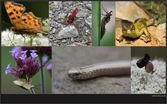 USA_0079 (Weinstöckle) Tags: cfalter feuerlibelle larve libelle zauneidechse blattwanze blindschleiche schlupfwespe wildemöhre
