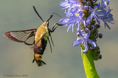 Snowberry Clearwing Moth (Hemaris diffinis) (danielusescanon) Tags: cbec hemarisdiffinis snowberryclearwing hummingbird moth wild chesapeakebayenvironmentalcenter insect