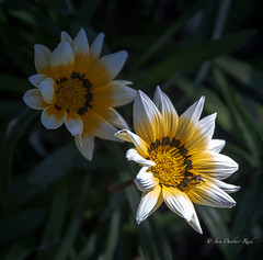 Into the light (idunbarreid) Tags: gazania doublefantasy