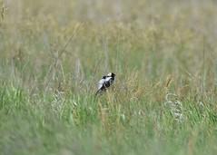 Bobolink at J. Clark Salyer NWR (USFWS Mountain Prairie) Tags: fws usfws usfishandwildlifeservice mountainprairieregion migratorybirds wildlife nature conservation nationalwildliferefugesystem northdakota