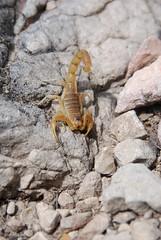 Scorpion languedocien - Buthus occitanus (Mathias Dezetter) Tags: scorpion arachnide arachnid arthropode invertébré prédateur garrigue sud faune fauna wild wildlife scorpio