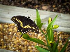 Eastern Tiger Swallowtail - Male (Hannah Underhill) Tags: macro insect butterfly summer gardening wildlife memphis tennessee seasonal closeup blackswallowtail