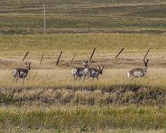 ANTELOPE, Pronghorn (teddcenter) Tags: antelope mammal molt montana pronghorn stillwatercounty