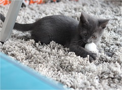 IMG_2519 (murkla_la) Tags: cat russianblue moussie gray graycat