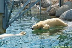 ijsberen_13 (Arnold Beettjer) Tags: wildlands emmen dierenpark dierentuin dierenparkemmen ijsbeer ijsberen polarbear