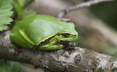 """Hyla arborea"" (bugman11) Tags: hylaarborea boomkikker treefrog fauna frog frogs animal animals amphibian amphibians nature canon 100mm28lmacro nederland thenetherlands green thegalaxy infinitexposure platinumheartaward"