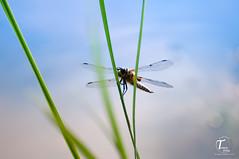 Tema Foto-000015 (Tor Magnus Anfinsen) Tags: dragonflie norge norway kongsberg nikon water gras insect