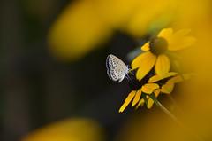 Pale Grass Blue (tsu55) Tags: palegrassblue nikond7000 rudbeckiafulgida flower butterfly