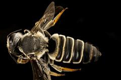 Megachile policaris, back, chambers co, Texas_2016-07-27-18.00 (Sam Droege) Tags: zerenestacker stackshot geologicalsurvey unitedstatesgeologicalsurvey departmentoftheinterior droege biml beeinventoryandmonitoringlaboratory bug bugs canon closeup macro insect patuxentwildliferesearchcenter pwrc usgs dofstacking stacking canonmpe65 taxonomy:binomial=megachilepolicaris bee bees apoidea hymenoptera pollinator nativebee megachilidae leafcutter texas chamberscounty swift trim beautiful