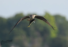 Osprey 8_29 2 (krisinct- Thanks for 12 Million views!) Tags: nikon d500 500 f4 vrg