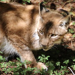 Luchsportrait (c4harry) Tags: chattengau kosystem tiere edersee wildtierpark luchs
