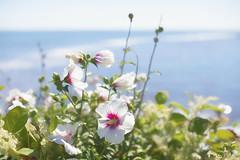 Flowers by the Sea (WilliamND4) Tags: hss sliderssunday ocean water flowers nikond610 plant painterly
