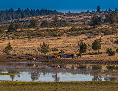 Wild Horses - 3 (rpdphotography) Tags: steensmountains