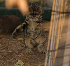 Moment of dispatch (ArtGordon1) Tags: death cat feline mouse thekill nature davegordon davidgordon daveartgordon davidagordon daveagordon artgordon1 london england uk walthamstow