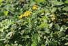 Tansy Whole Plant (non-native) (corey.raimond) Tags: tansy commontansy asteraceae flora washington weed nonnative plant yellowflower tanacetumvulgare bothell kingcountywashington tanacetum