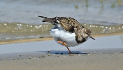Put your right leg in, your right leg out....... (nick.linda) Tags: turnstone arenariainterpres waders beach hokeycokey hokeypokey wildandfree sea costablancaspain canon7dmkii canon100400 dancing
