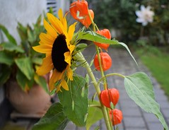 Bouqet Sunflower and Lampion 18.09 (13) (tabbynera) Tags: bouquet sunflower lampion