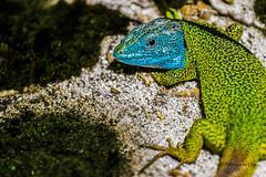 _MG_1814 (Diamantino Dias) Tags: portugal canon cores cor lagarto gua arlivre azul verde