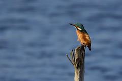 DSC_9790 (gerald2231) Tags: bird vogel eisvogel