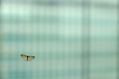 Minimalist moth (The Green Album) Tags: butterfly minimalism negative space office glass resting transparent insect solitary translucent cyan windows