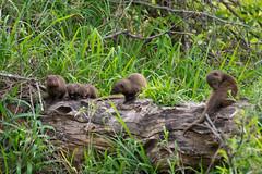P1100288 (flotsam/jetsam) Tags: animals nottens southafrica africa mongoose mongeese