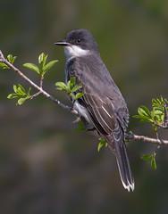 Eastern kingbird (Phiddy1) Tags: birds canada easternkingbird hallsroad kingbird ontario whitby