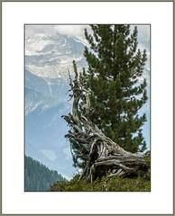 Blick auf die 3000er  (Look at the 3000) (alfred.hausberger) Tags: sdtirol taufers wandern baum wurzel berge totholz
