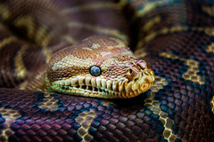 Look into my eye (Myrialejean) Tags: mosman newsouthwales australia au snake scales eye steeley reptile slither eyes nose fangs tail skin colours taronga sydney serpent serpentine serpentes ectothermic snaca animal