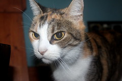 Patches Calico photo of the day 10/8/2016 (Patches Madison) Tags: patches calico cute sweet adorable