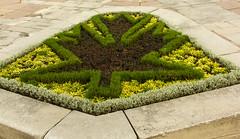 Maple Leaf (rumimume) Tags: potd rumimume 2016 niagara ontario canada photo canon 550d t2i sigma mapleleaf plant hedge garden outdoor