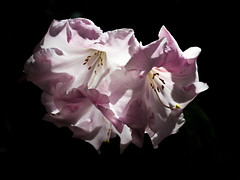 Transparencies (helganovelli) Tags: nature flower pinkflower pink floral shade shadow fresh delicate petal beauty beautiful blume darkbackground closeup blackbackground flor fleur romantic romance isolated soft transparency rhododendron rododendro rhodies helganovelli elegant