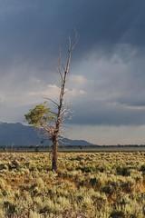 (~Abby) Tags: wyoming grandtetons tree july