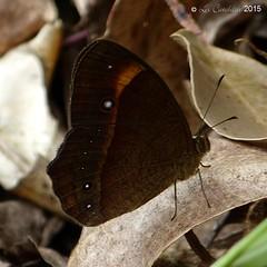 Red-disc bushbrown (LPJC) Tags: munnar kerala india 2015 lpjc reddiscbushbrown endemic mycalesisoculus telingaoculus