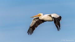 American White Pelican (Bob Gunderson) Tags: americanwhitepelican birds california northerncalifornia pelecanuserythrorhynchos pelicans peninsula radioroad sanmateocounty