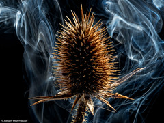 #Macro Monday -  #Backlit  - Karde & Rauch - Teasel & smoke (J.Weyerhäuser) Tags: flash olympus 60mmmacro backlit hmm karde macromonday backlight smoke rauch teasel